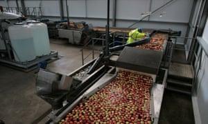Apple harvest, Kent.Braeburn apples.Hononton Farm - James Simpson, Managing Director, Adrian Scriffs Ltd. (blue top)Sorting and packing at Adrian Scriffs Ltd.10-10-2014.