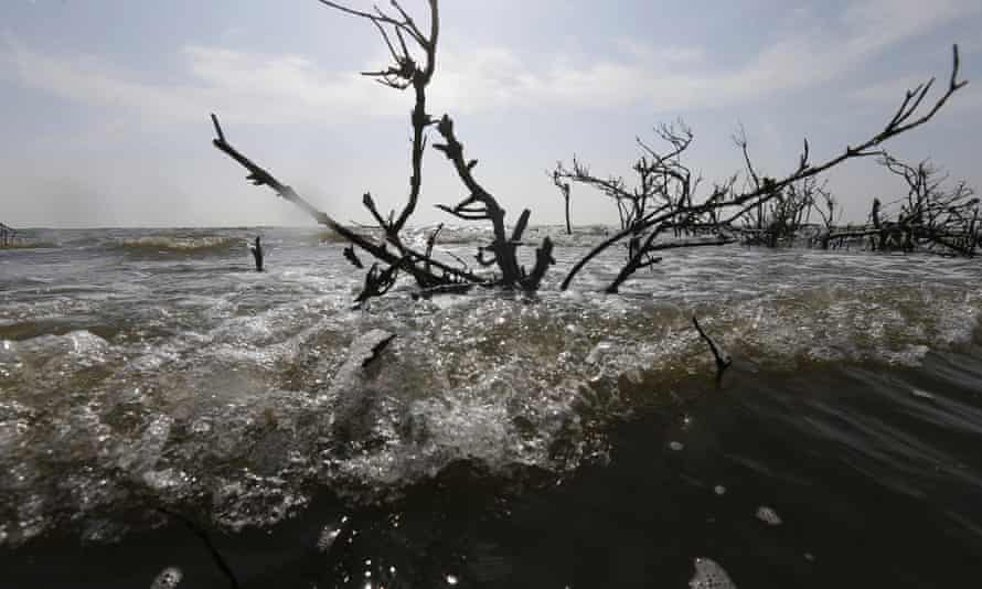 Dead mangrove at Cat Island and Bay Jimmy in Plaquemines Parish