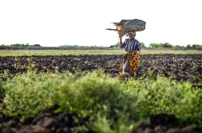 A woman carries firewood across the rice plantation near Xai-Xai