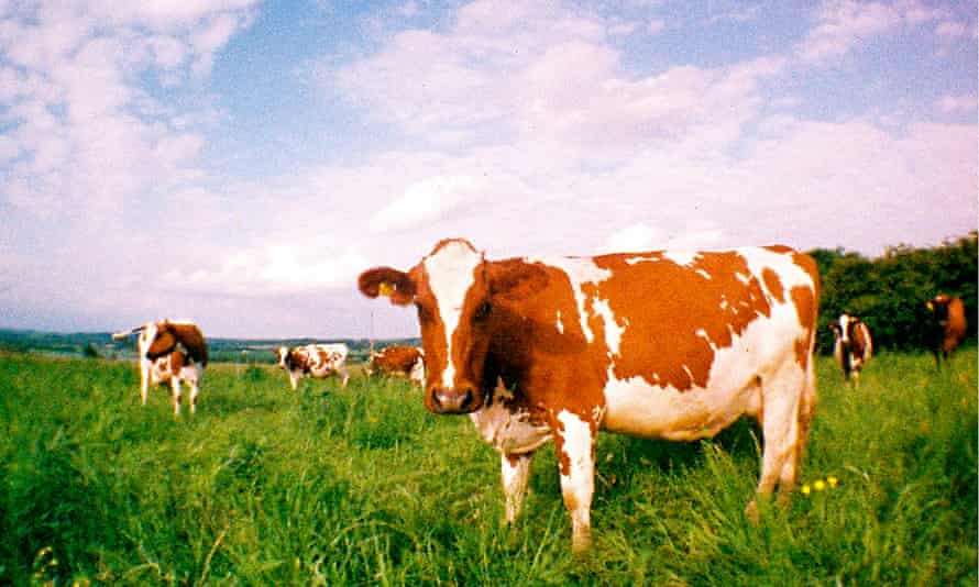 Old-fashioned organic … cows at the North Aston microdairy in Oxfordshire