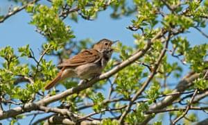 Nightingale (Luscinia megarhynchos) in song