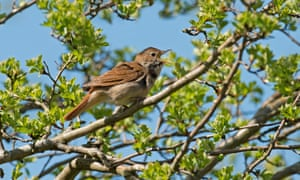 A nightingale in song. Nightingales and other species are under threat from rising deer numbers.