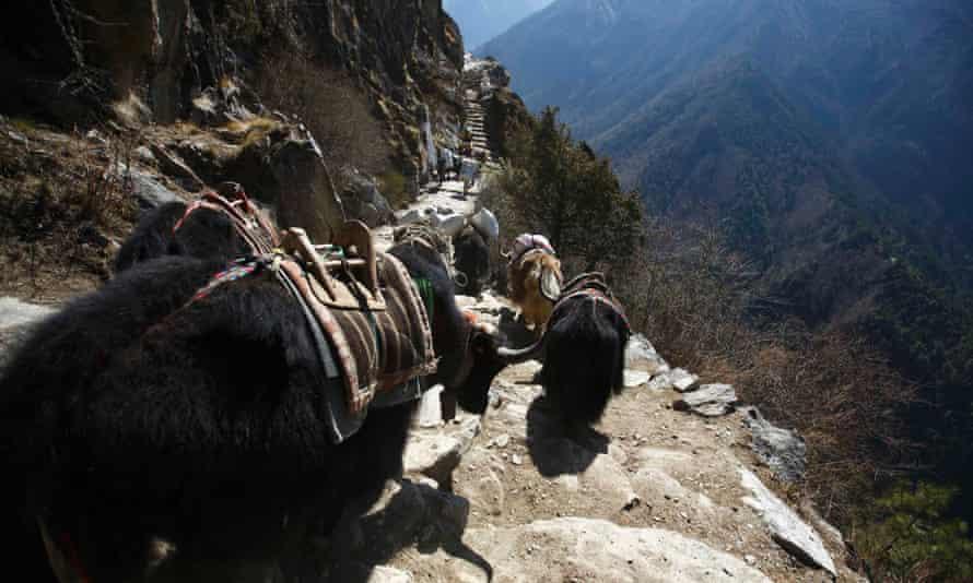 Yaks head towards the Everest base camp in Solukhumbu.