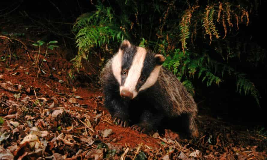 A Badger foraging at night