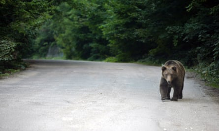 A bear walks on the road near Sinaia, 200km north of Bucharest, August 11, 2008. With half of Europe's brown bears living in Romania's largely unspoilt Carpathian mountains, environmentalists and local authorities are struggling to keep the wild animals and residents in mountain towns like Brasov safe from each other.