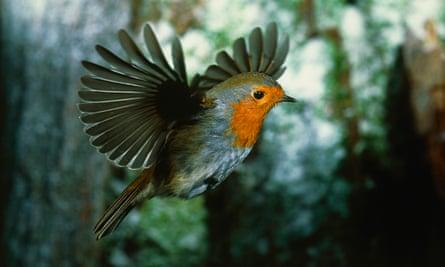 A European robin in flight