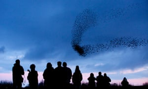 Birdwatchers gather to watch the murmuration of more than 50 000 starlings roosting at Middleton Moor, Derbyshire, 20 January 2014.