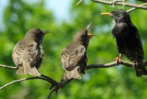 Starlings from Green shoots