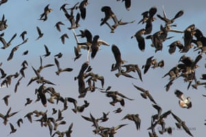 A mixed flock of Lapwings, Starlings and Black headed gulls all taking to the air from a field in Somerset on February 14, 2013