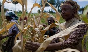 Kenyan women tend to their maize crops.