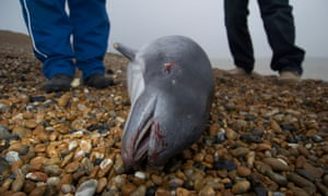 Dead harbour porpoise washed up on Kent