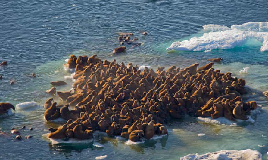 Walrus herds resting on floating pack ice during spring breakup in the Chukchi Sea.