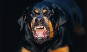 A rottweiler dog bares its teeth