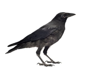 Young Carrion Crow (Corvus corone) in front of a white background.
