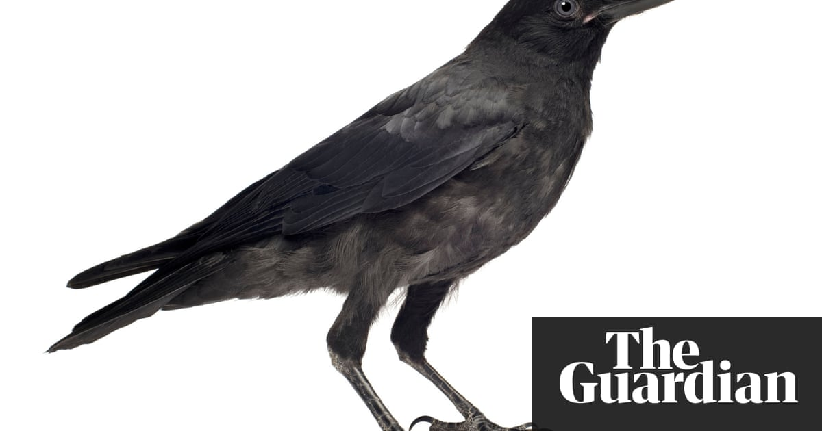 Caw Vs Kraa Meaning In The Calls Of Crows And Ravens