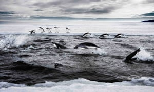 Adelie penguins hunting on the Ross Sea off Antarctica.  Environment groups have called for a marine reserve to be declared in Antarctica's Ross Sea to prevent 'industrial scale' fishing ruining the pristine ecosystem.