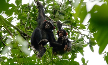 Two young chimpanzees in Nouabalé-Ndoki national park, Republic of the Congo.