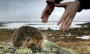 Hedgehog being collected by Uist Hedgehog Rescue