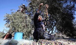 Khan Younis, Gaza Strip A Palestinian woman sorts olives during a harvest at a farm