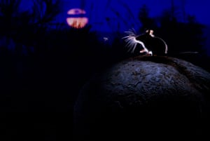 2014 WPY Mammals category winner : The mouse, the moon and the mosquito by Alex Badyaev Russia/USA