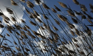 Phragmites blow in the wind on Wallops Island in Virginia