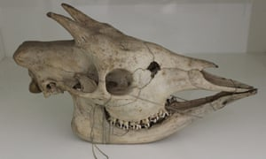 Percy Powell-Cotton's okapi skull. Where is the rest?