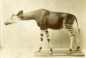 The okapi specimen that Percy Powell-Cotton gave to the Natural History Museum.