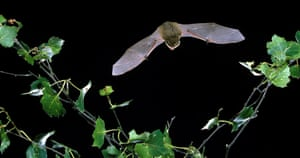 Pipistrelle bat in Hyde Park: Go Batty for Bats discovery day.
