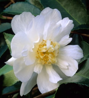 Gardens how white plants can brighten the winter months life and camellia winters snowman mightylinksfo