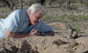 David Attenborough with some meerkats in Life Story.