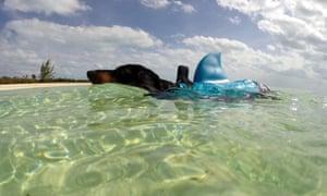 Crusoe the celebrity dachshund dressed as a shark