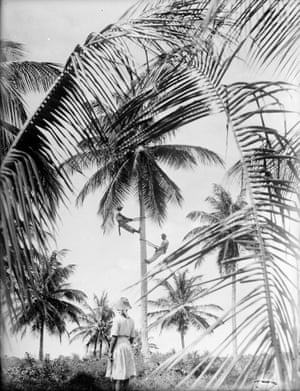 Coconut pickers shin up a palm tree on the island of Tobago 1934
