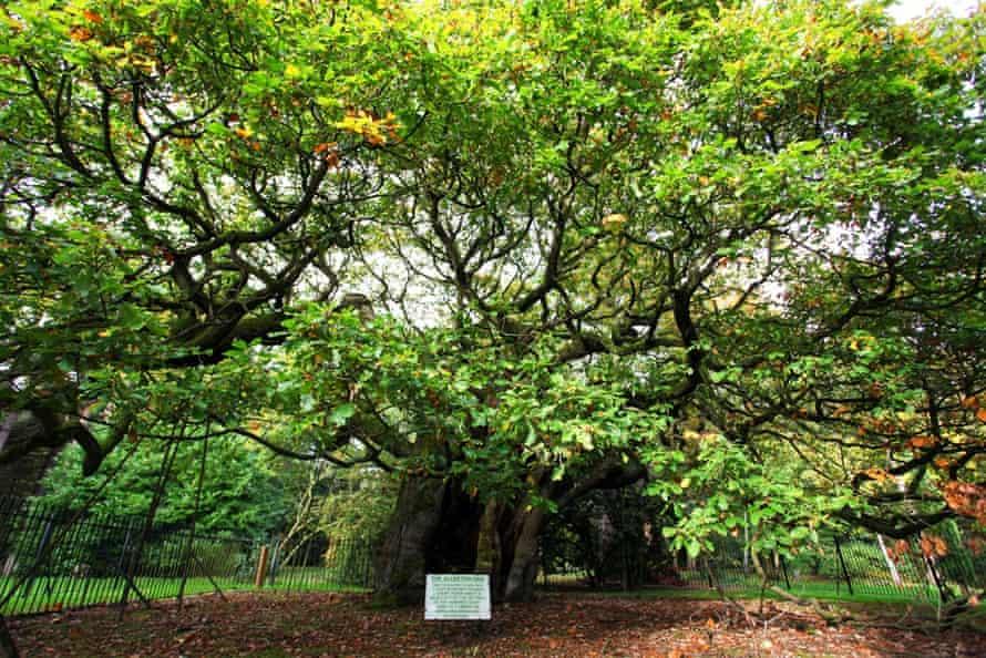Woodland Trust top 10 trees:   Allerton Oak.