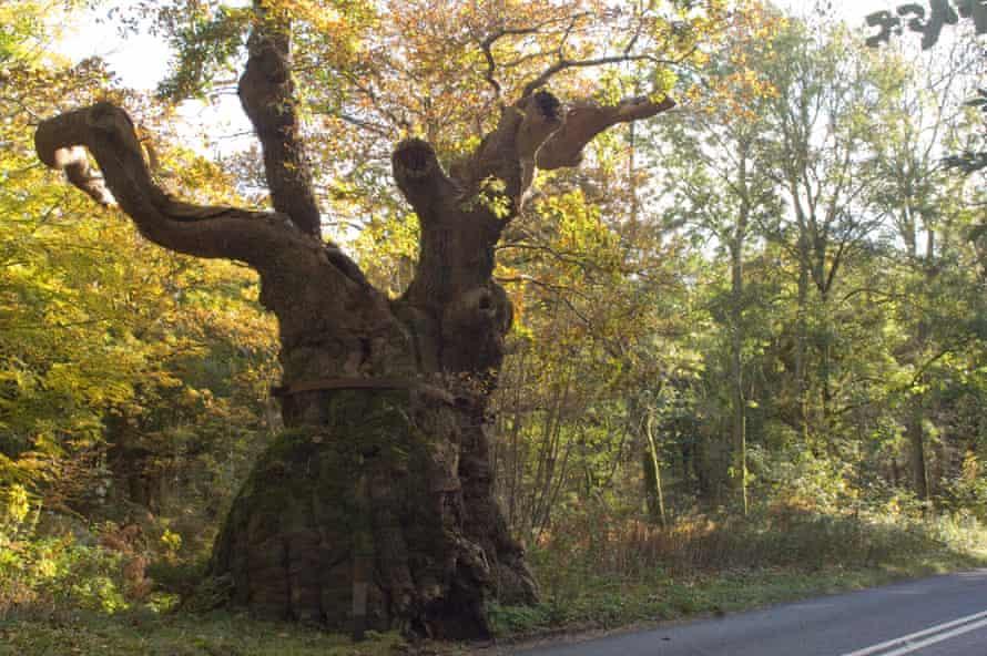 Woodland Trust  top 10 trees : Big Bellied Oak