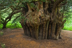 Ankerwycke or Magna Carta yew (Taxus baccata) near Runnymede, Windsor: 2,000 year old tree, witnessed signing of the Magna Carta in 1215, UK Woodland Trust top 10 trees