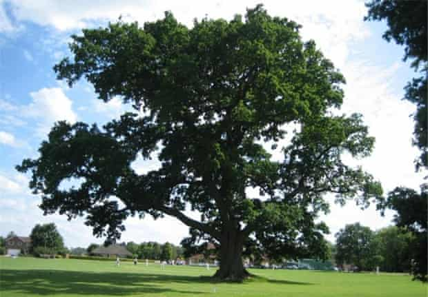 Woodland Trust top 10 trees : Ickwell Oak.