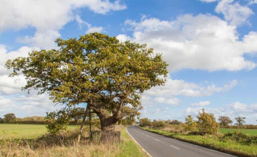 Woodland Trust top 10 trees : Kett's Oak.