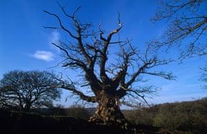 Woodland Trust top 10 trees Whiteleaved Oak.