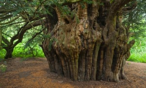 Woodland Trust top 10 trees in England : Ankerwycke or Magna Carta yew near Runnymede, Windsor