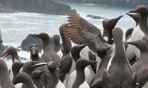 Guillemots on Skomer Island