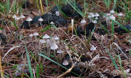 Trooping fungi at Great Stubby Hat, New Forest.