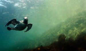 A diving guillemot.