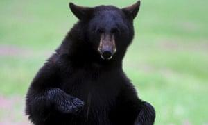 black bear in montana