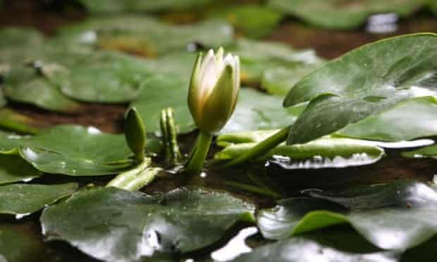 World's smallest water lily