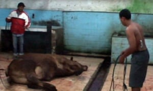 footage of animals being whipped, live cattle exports Indonesia 2011