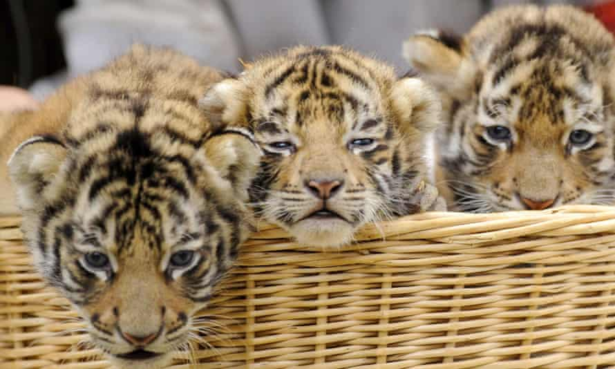Records show that three tigers have been imported into Armenia in recent years.