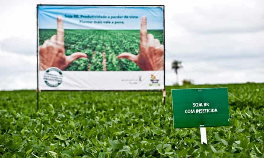 GM field trial in Brazil