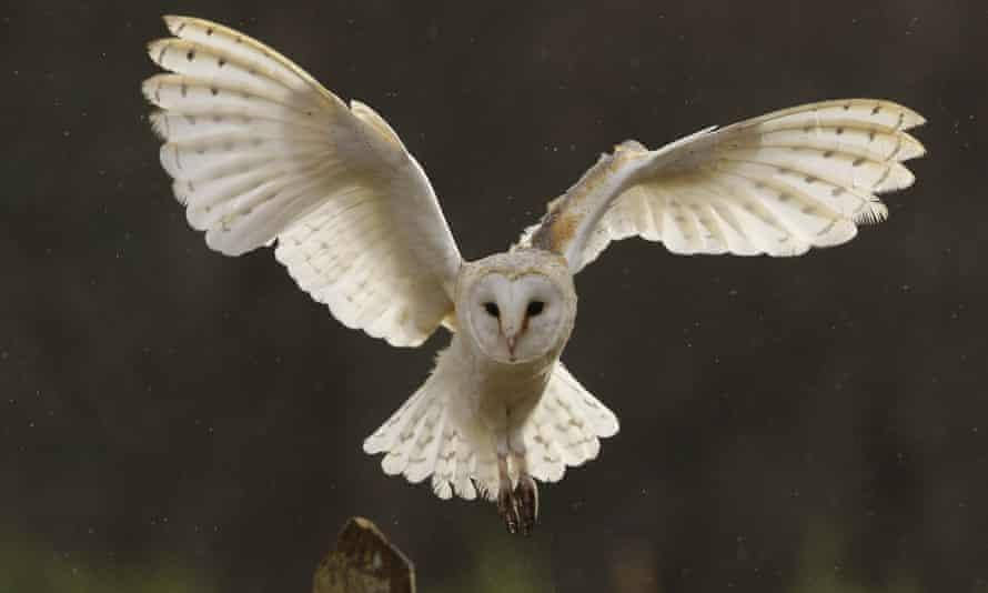 A barn owl in flight.