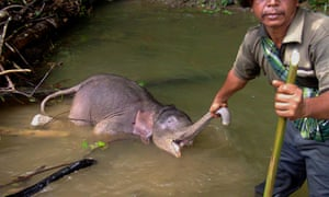 A dead baby Sumatran elephant found in a river in Serbajadi in East Aceh district in Aceh province, located near the Leuser ecosystem forest conservation area in Indonesia's Sumatra island on August 21, 2014. According to wildlife officials, dozens of the elephants have died after being poisoned in recent years on Sumatra island.