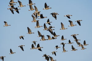 A record number of 45,800 migratory pink-footed geese has arrived at Lancashire's WWT Martin Mere Wetland Centre according to counts earlier today. This beats the previous record number of 36,000 in 2010. Over the next couple of weeks, numbers will steadily increase as more of these birds make the 500 mile journey from Iceland to spend the start of winter in Lancashire. The geese will ultimately spend the winter in the south after using the North West as a service station to rest and re-fuel for up to three weeks before continuing on their journey.